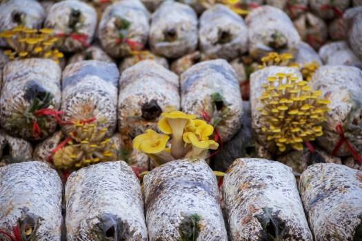 La pleurote jaune est difficile mais possible a faire pousser commercialement