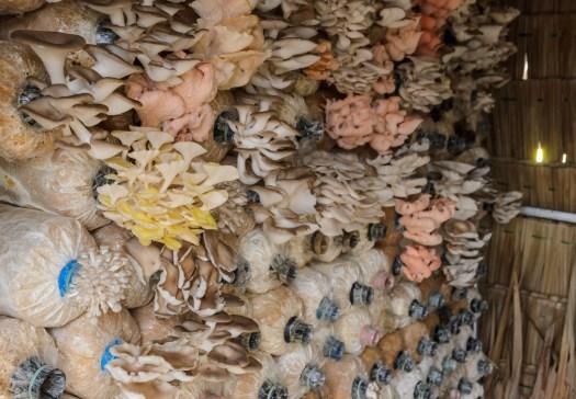Les variétés de pleurotes peuvent être trés diverses