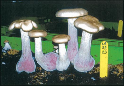 Il existe plusieurs souches de Pied bleu pouvant être cultivées.