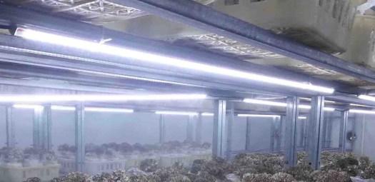 Les LEDs sont une bonne source de lumière en terme de matériel professionnel pour la culture des champignons