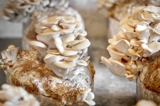 cultiver le pleurote de l'orme, ressemble fortement à la culture des champignons du genre Pleurotus
