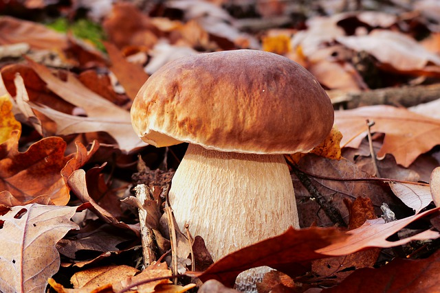 Les bois de feuillus et d'Epicéas abrite souvent Boletus edulis