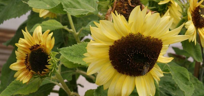 Girassol: curiosidades e dicas de cultivo
