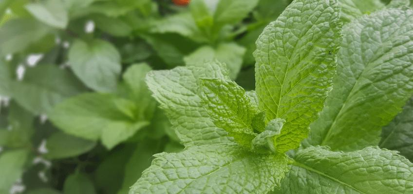 Jardim medicinal – 4 infusões para cultivar!