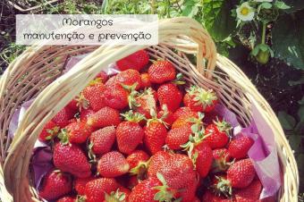 Cultivar morangos – manutenção e prevenção de doenças