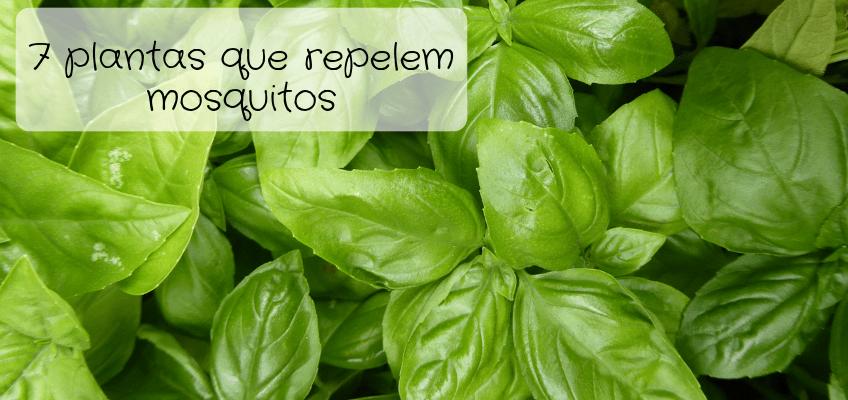 7 plantas aromáticas que repelem mosquitos!