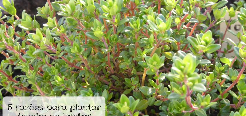 5 razões para plantar tomilho no jardim!