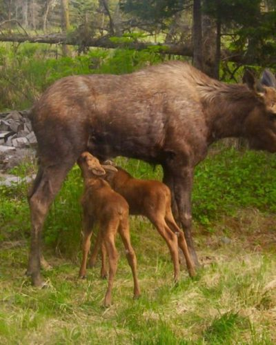 A moose nursing her calves