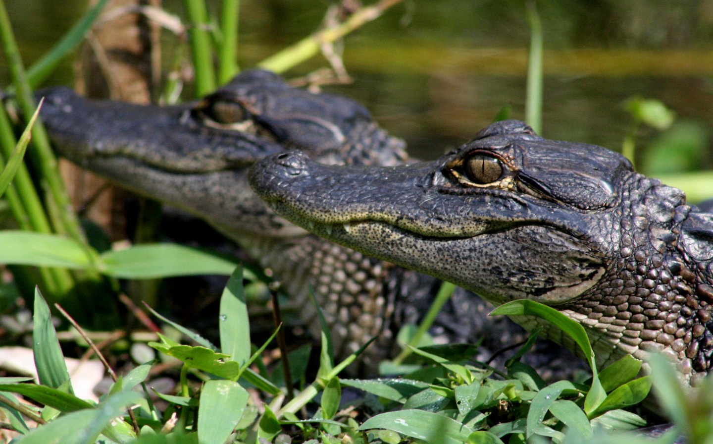 A pair of little alligators