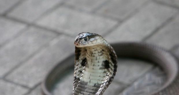 Cobra da espécie Naja, em imagem de arquivo