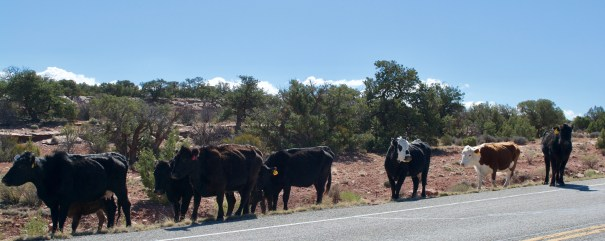 Most of the road up to Canyonlands is open range for happy cows, so be careful driving!