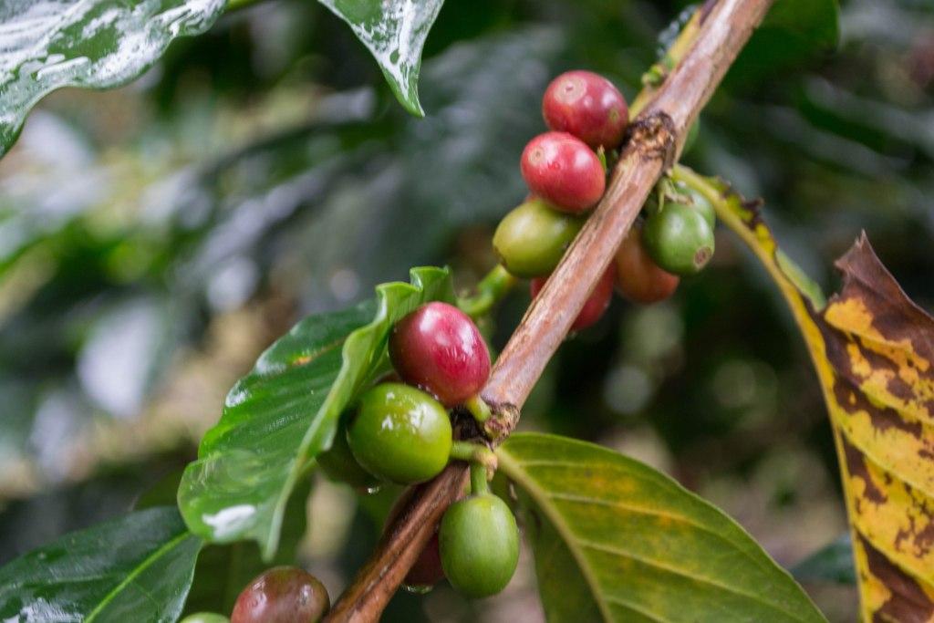 Coffee tour; Salento, Colombia