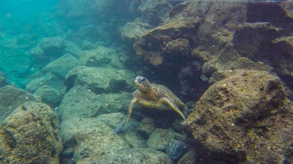 Sea Turtle - Big Island, Hilo, Hawaii