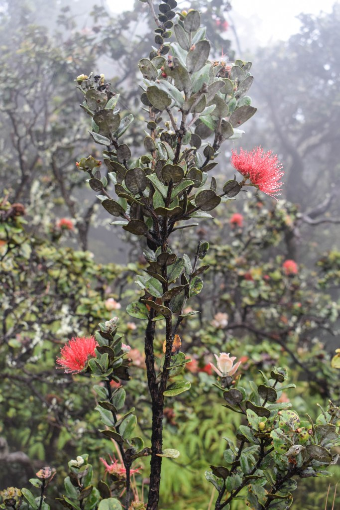 Ohia Lehua Volcanoes National Park