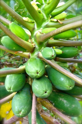 Papaya growing on the trunk