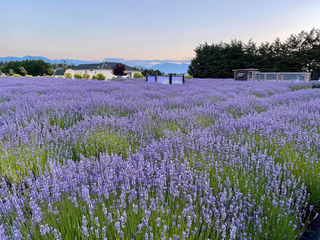Sequim Lavender Fields, Olympic Peninsula