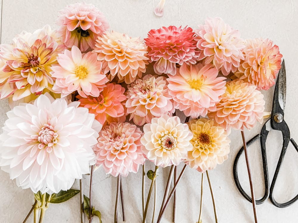 CulturallyOurs Five Edible Flowers To Use In Your Kitchen Dahlias