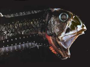 viperfish_deadly_deep_predator