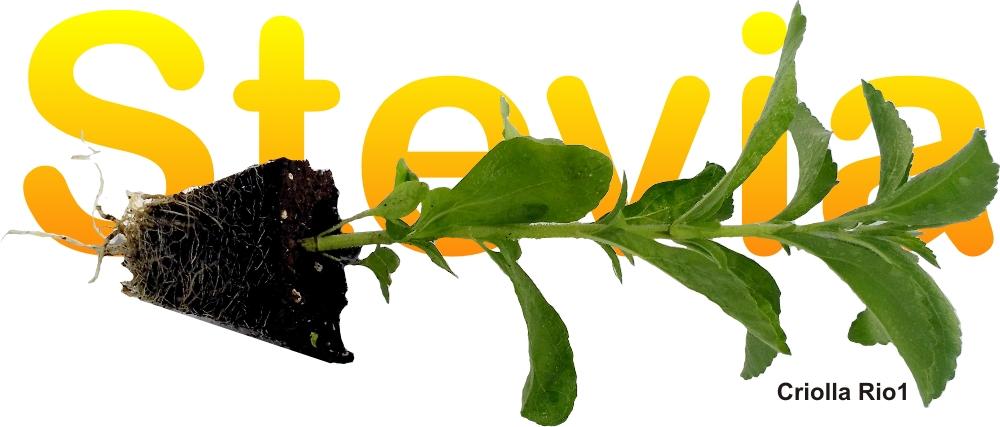 Acerca de la Stevia Andaluza