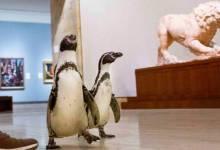 Photo of Dejaron que un grupo de pingüinos recorriera un museo de arte por su cuenta