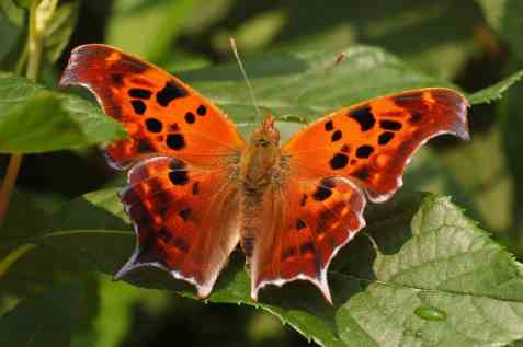 Question_Mark_Polygonia_interrogationis_Wings_3008px