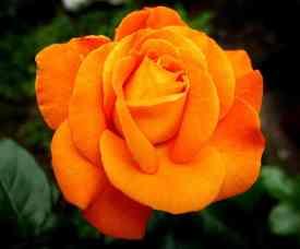 rose-3460971_960_720