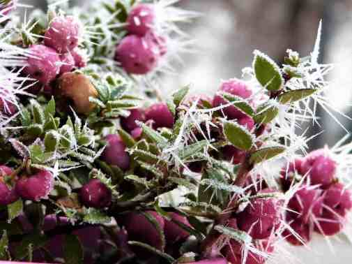 snow-berry-1917766_960_720