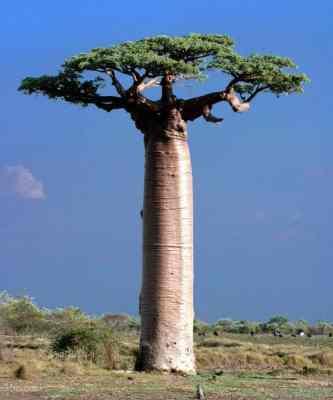 800px-Adansonia_Grandidieri_Baobab_Morondava_Madagascar