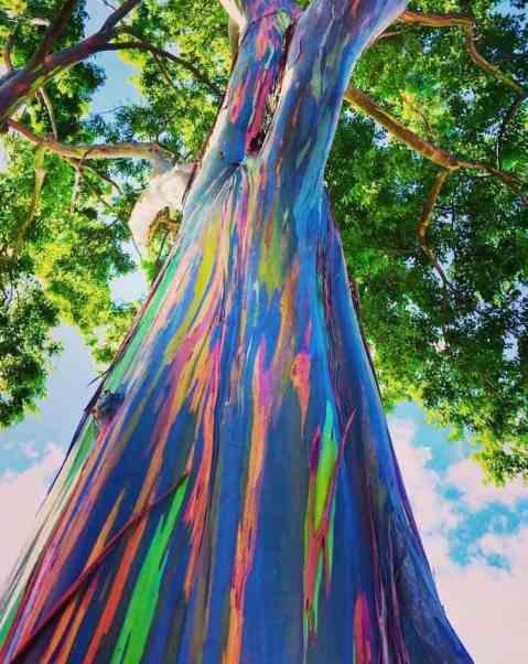 arbre_arc_en_ciel_eucalyptus_deglupta_07