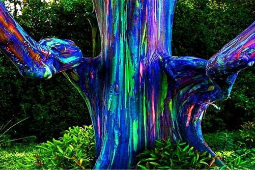 les-arbres-les-plus-bizarres-du-monde_hawac3af_eucalyptus-ou-arbre-arc-en-ciel-arbre_wp