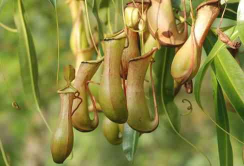pitcher-plant-362370_1280