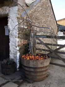 Cider apples in Cornwall