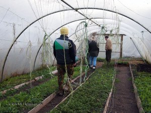 Chefs walking in polytunnel in Cornwall