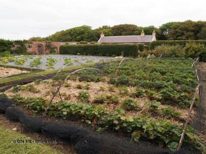 Vegetable garden at Balfour Castle