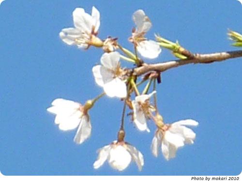 20100412-19 京都市花見:上賀茂神社2010年 御所桜