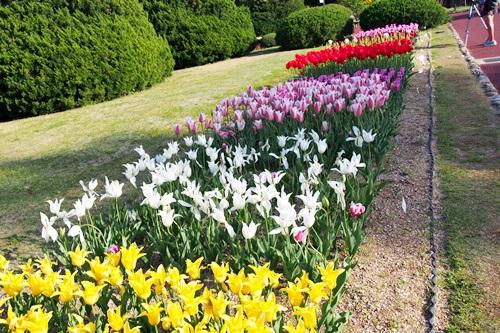 P4176179 植物園で見たチューリップ(後編)