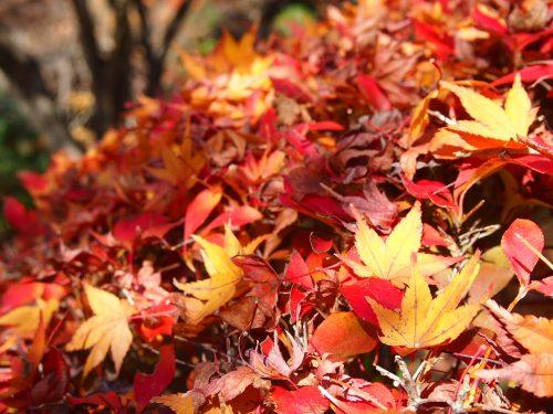 PC03027812月新しいカメラを持って紅葉を撮りに京都府立植物園へ(2012年)