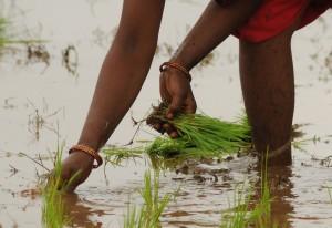 Manual rice transplanting by women's work group (and 1 Wash U student). Andhra Pradesh, 2008