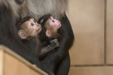 Lion-Tailed Macaque Babies