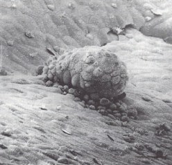 Carnegie Stage 4 [5-6 Days - Embryo Attached to Endometrium]