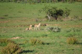 Cheetahs on our safari