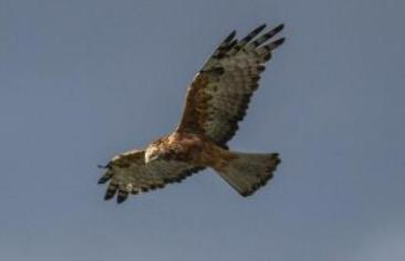Vulnerable Square-tailed Kite