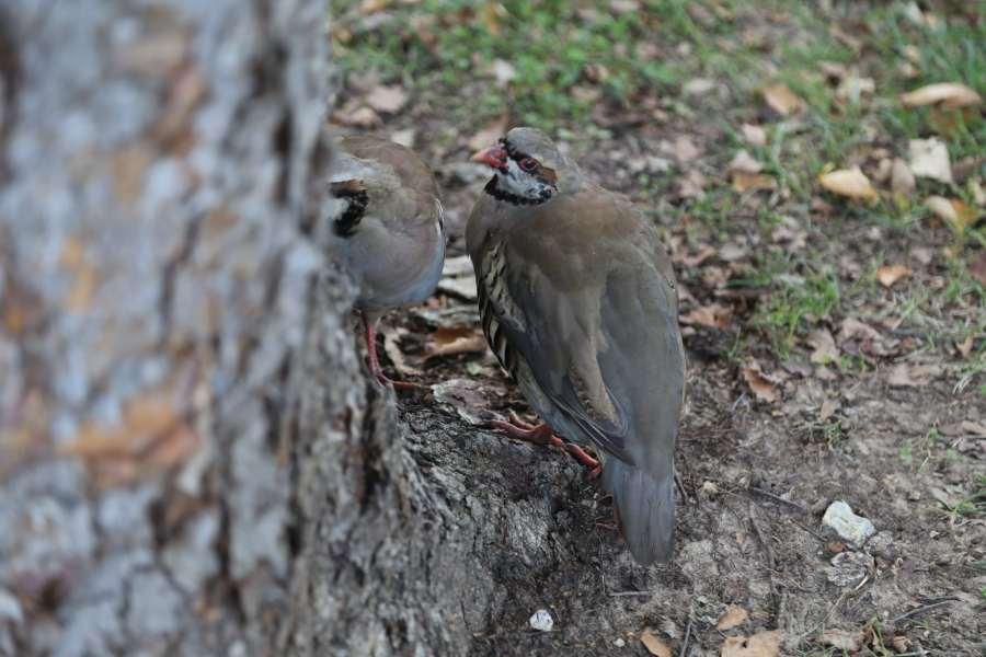 Wildlife, Chukkar