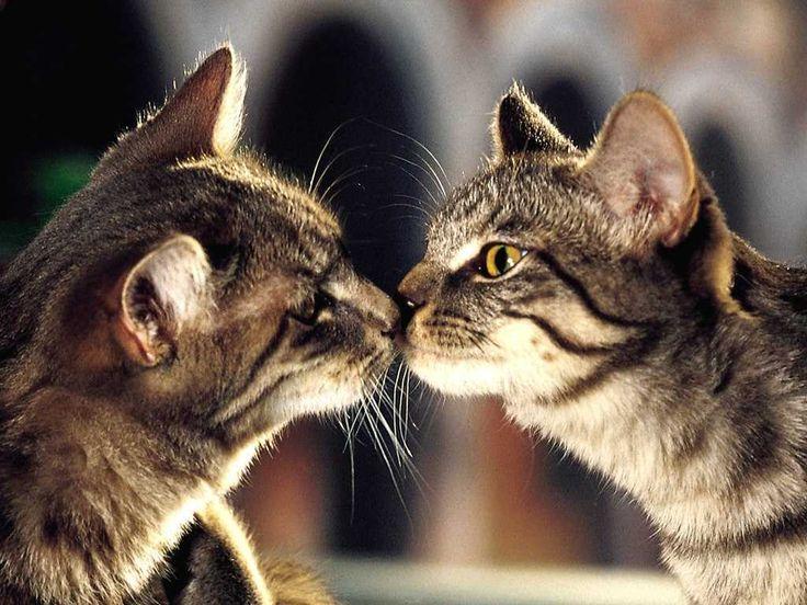 nasul pisicilor