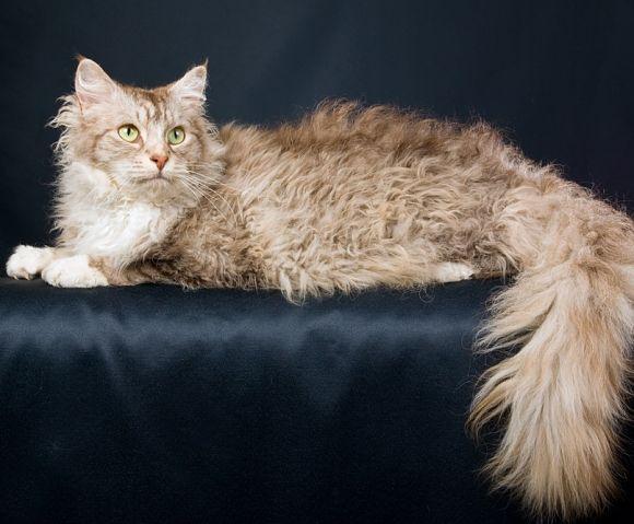 pisica-LaPerm