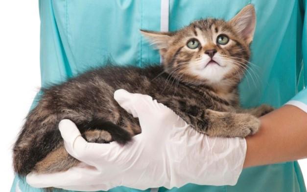 peritonita infectioasa felina