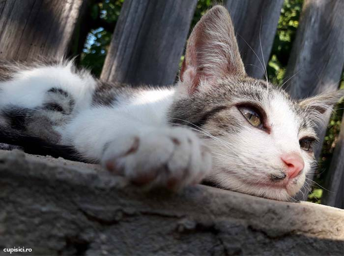 rase de pisici