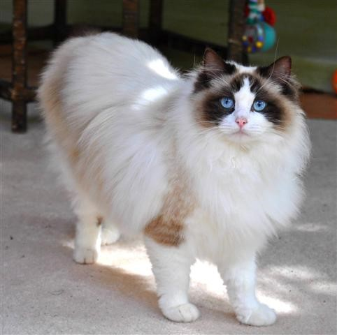 Rasa de pisici care ti se potriveste