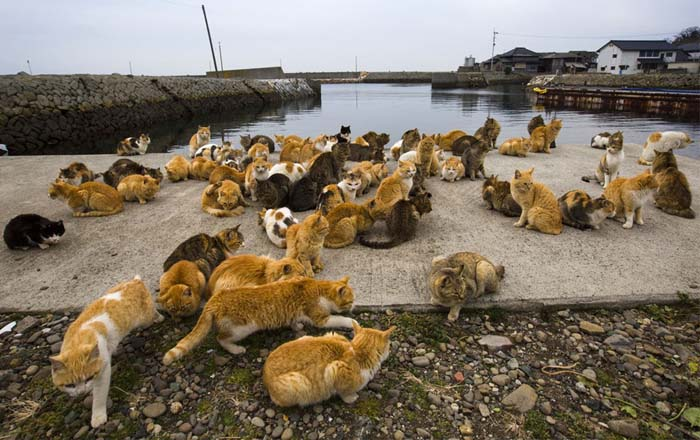 insula a pisicilor din japonia