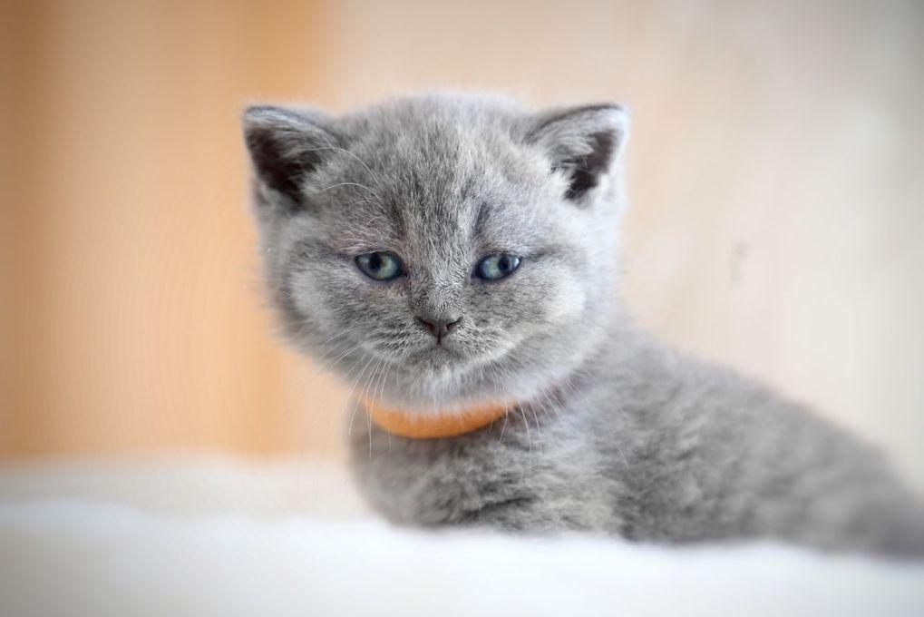 pisica british shorthair